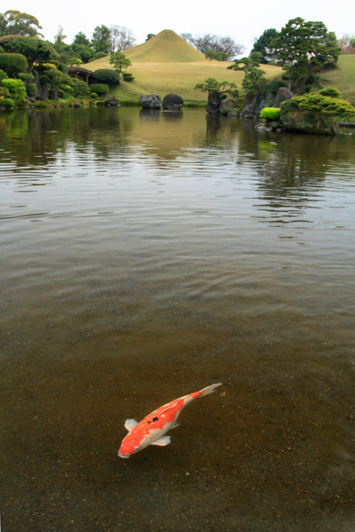 水前寺公園の鯉