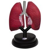 EASTCOLIGHT#29965  立体模型 肺