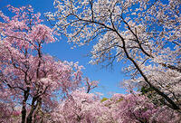 桜の撮影にオススメのフィルター